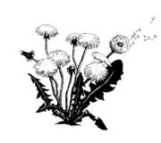 Vector Hand drawn sketch of dandelion flower illustration on white background stock illustration
