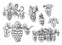 Vector Hand drawn sketch of hop illustration on white background stock illustration
