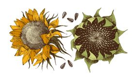Vector hand drawn sunflower stock illustration