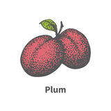 Vector hand-drawn two juicy ripe red plum Stock Photos
