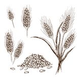 Vector hand drawn wheat or barley isolated on white background. Wheat collection in engraved vintage style. various wheat ears,