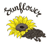 Vector hand drawn yellow sunflower and sunflower. Stock Photography