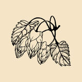 Vector hand sketched illustration of hops. Brewery herbs design. Hand sketched beer image, ale or lager plant icon. Stock Image