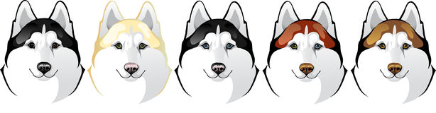 Vector head of a dog breed Siberian Husky. Vector illustration of different color dogs Stock Photos