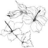 Vector Hibiscus floral botanical flower. Black and white engraved ink art. Isolated hibiscus illustration element. vector illustration