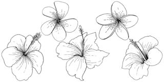 Vector Hibiscus floral tropical flowers. Black and white engraved ink art. Isolated hibiscus illustration element. royalty free illustration
