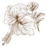 Vector hibiscus. Stock Image