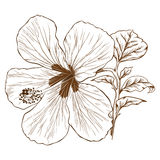 Vector hibiscus. Royalty Free Stock Photography
