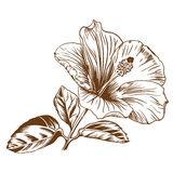 Vector hibiscus. Stock Photos