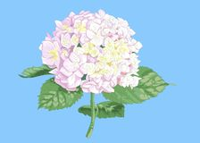 Vector highly detailed realistic illustration of hydrangea flower isolated on blue. Good for wedding floral design, greeting cards.  stock illustration