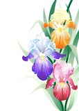 Vector holidays card with Iris flowers bouquet Royalty Free Stock Photo