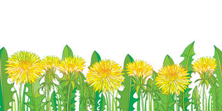 Vector horizontal border with outline yellow Dandelion or Taraxacum flower, bud and green leaves isolated on white. Stock Photography