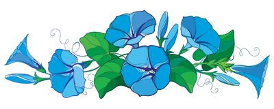 Vector horizontal bunch with outline Ipomoea or Morning glory flower bell in pastel blue, green leaf and bud isolated on white. Vector horizontal bunch with vector illustration