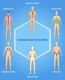 Vector human body systems illustration Stock Photos
