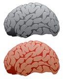 Vector human brains Royalty Free Stock Photos