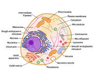 Vector human cell structure. Cell structure, cross section of the cell detailed anatomy with description Stock Photo