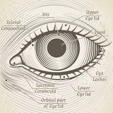 Vector human eye etching with captions. Cornea, Stock Images