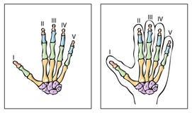 Vector human hand. Bone scheme Stock Photography
