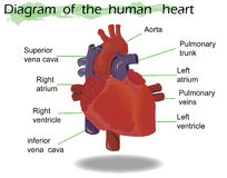 Vector Human Heart Anatomy Stock Images