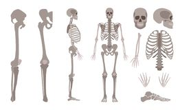 Vector human skeleton body bones and skull set. Vector human skeleton parts set. Human body bones, Scientific and anatomical mockup for education. Skull royalty free illustration
