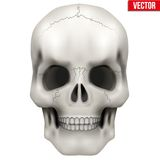 Vector Human skull. Illustration on isolated white Stock Image