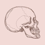 Vector human skull Stock Images