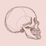 Vector human skull Stock Images