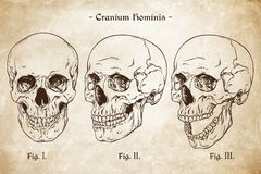 Vector human skulls set hand drawn line art anatomically correct. Da Vinci sketches style over grunge aged paper background stock illustration