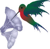 Vector hummingbird. A little vector hummingbird taking a sip of nectar from a lavender morning glory Stock Images