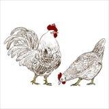 Vector il disegno di un gallo e di una gallina Fotografie Stock