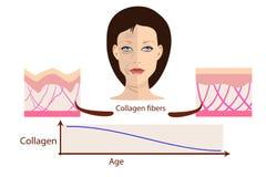 Vector il fronte e due tipi di pelle - invecchiata e di giovani per medico illustrazione vettoriale