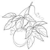 Vector il ramo con il frutto della passione del profilo o frutta e foglia di maracuja su fondo bianco Pianta tropicale perenne illustrazione di stock