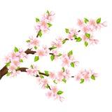Sakura Immagini Stock