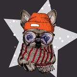 Vector il ritratto del beanie, dei vetri e della sciarpa d'uso del cane del bulldog francese sulla stella e sulla neve Illustraio Fotografie Stock