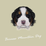 Vector Illustrated portrait of Bernese Mountain puppy. Stock Images