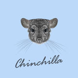 Vector Illustrated portrait of Chinchilla. Royalty Free Stock Photos
