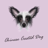 Vector Illustrated portrait of Chinese Crested Dog. Royalty Free Stock Photo
