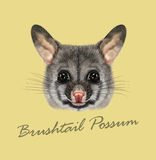Vector Illustrated portrait of Common brushtail possum Royalty Free Stock Images