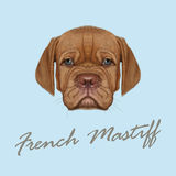 Vector Illustrated Portrait of French Mastiff puppy. Royalty Free Stock Images