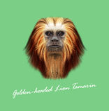 Vector Illustrated portrait of Golden-headed lion tamarin monkey. Cute fluffy face of primate on green background Stock Images