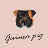 Vector Illustrated portrait of Guinea pig. Stock Image