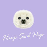 Vector Illustrated Portrait of Harp Seal Pup. Cute fluffy face of Harp Seal baby on violet background Royalty Free Stock Photography