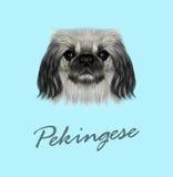 Vector Illustrated portrait of Pekingese dog Royalty Free Stock Image
