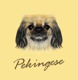 Vector Illustrated portrait of Pekingese dog. Royalty Free Stock Images