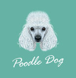 Vector illustrated Portrait of Poodle dog Stock Images