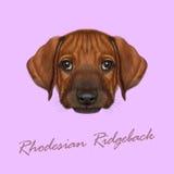 Vector Illustrated Portrait of Rhodesian Ridgeback dog.