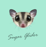 Vector Illustrated portrait of Sugar glider Royalty Free Stock Photos