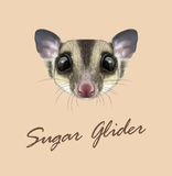 Vector Illustrated portrait of Sugar glider. Royalty Free Stock Photography
