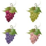 Vector illustratie van druiven Royalty-vrije Stock Afbeelding