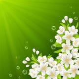 Tot bloei komende tak van kers Royalty-vrije Stock Afbeelding